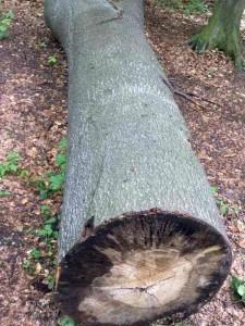 Bild eines gefällten Baumes, der auf dem Waldboden liegt.