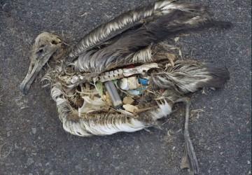 Seevogel von Plastikmüll getötet.