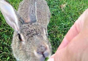Kaninchen auf Wiese