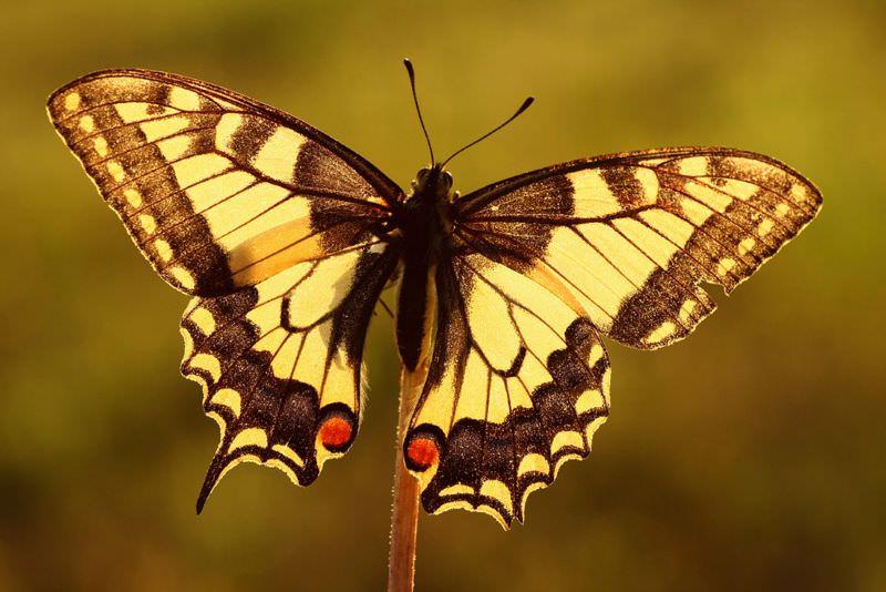 Schmetterling in voller Größe