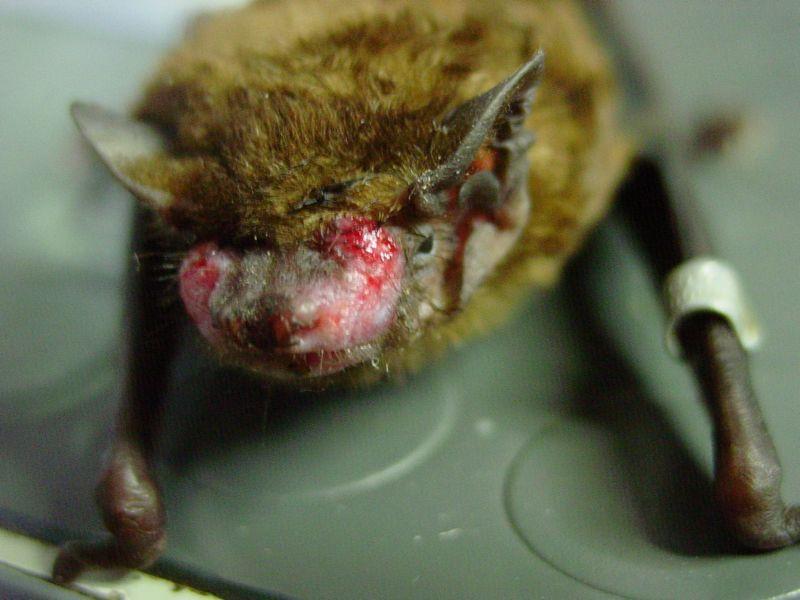Das Bild zeigt eine hilfebdürftige, verletzte Fledermaus